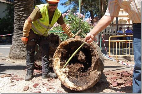 tala palmera Camino Largo - oquedad base copa